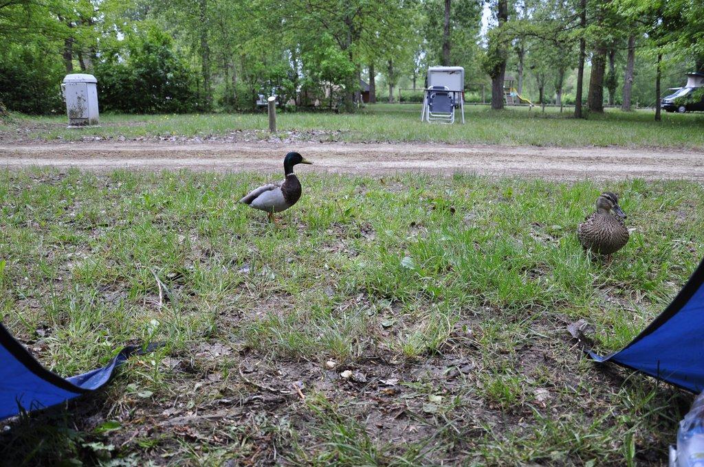 Les canards disent bonjour aux Chatmouettes