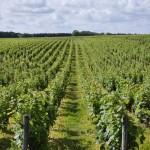 Champ de vignes avant Montlouis-sur-Loire